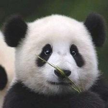 panda.jpg-16.8kB